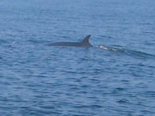 Minke Whale off the Eastern Tail Pollock Shoal