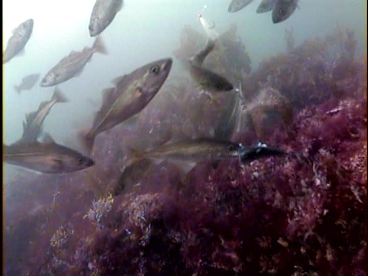 Near the Eastern Tail Pollock Shoal at 40 feet